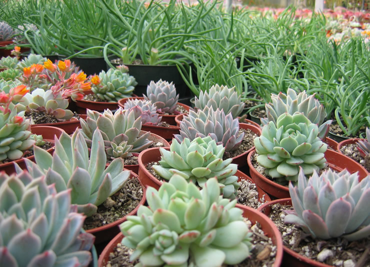 Prices Of Individual Plants Range From Little Over A Dollar For The Smallest Specimens To Thousand Dollars Largest Ones